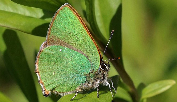 green-hairstreak-butterfly-two-column