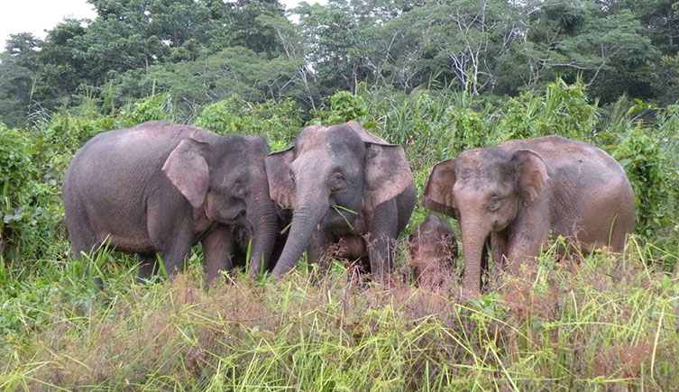 Adult female Borneo elephants