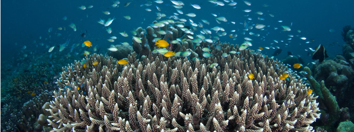 A small school of green chromis fish swimming above staghorn coral in Raja Ampat, Indonesia