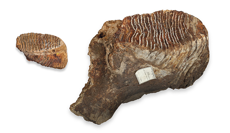 Woolly mammoth and Columbian mammoth tooth