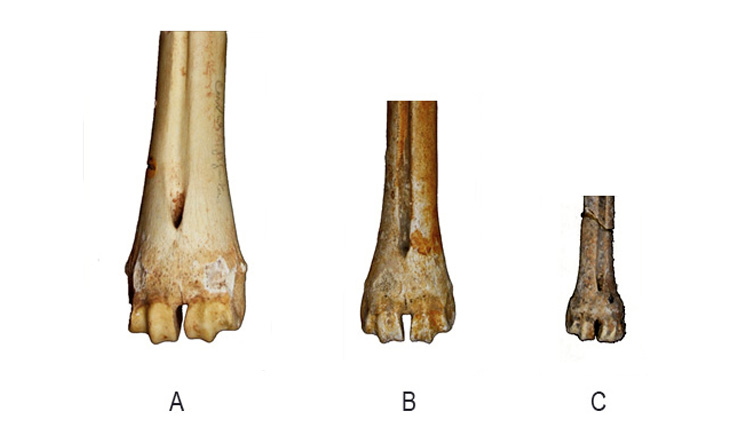 Metatarsal bones of red deer