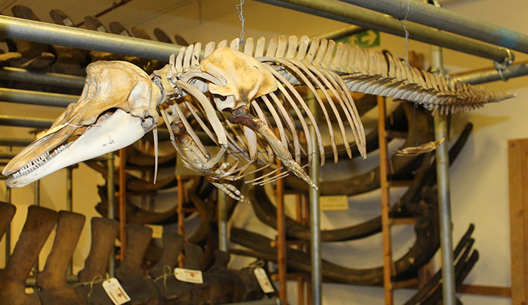 A dolphin skeleton from the Mammal collections