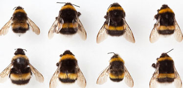 A range of bees