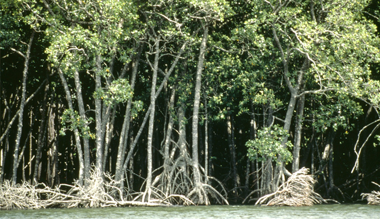 Brazilian mangrove forests