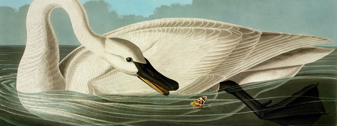 Cygnus buccinator, trumpeter swan plate 406 from John James Audubon's Birds of America