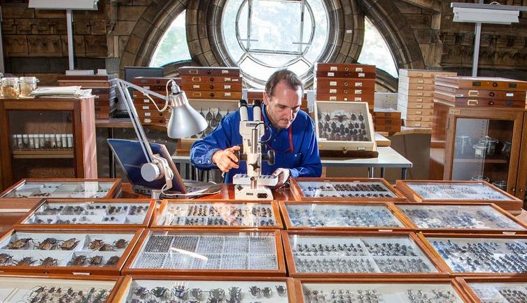 A scientist examining part of the Museum's beetle collection