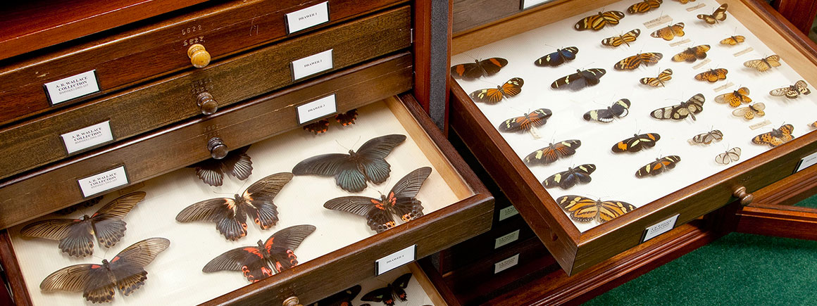 Drawers containing specimens from the Museum's Lepidoptera collection