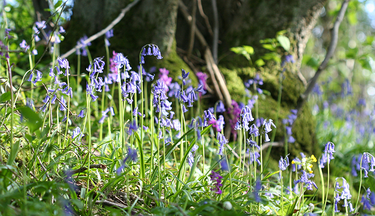 Native bluebells in woodland