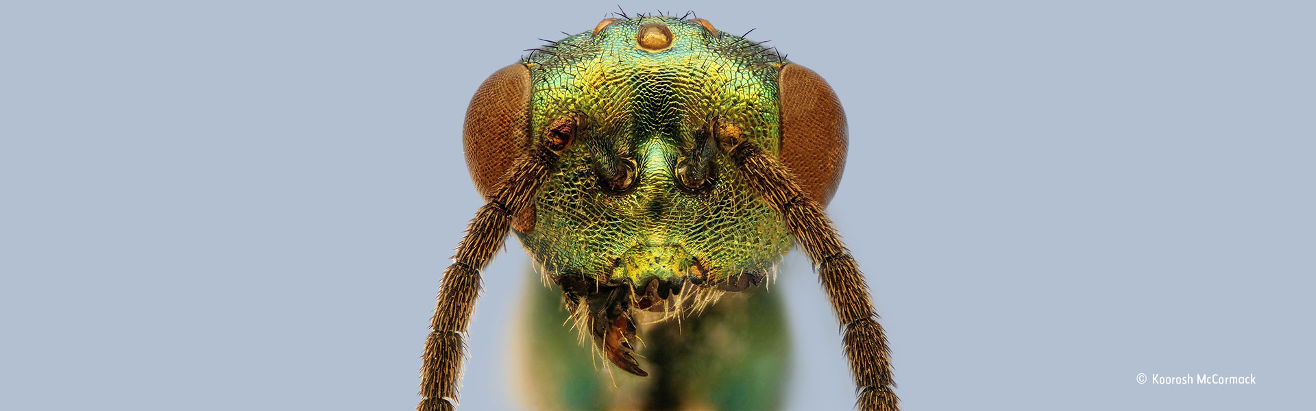 Close-up of a parasitoid wasp