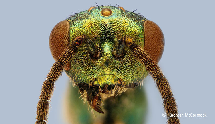 Close-up of the head of a chalcid wasp