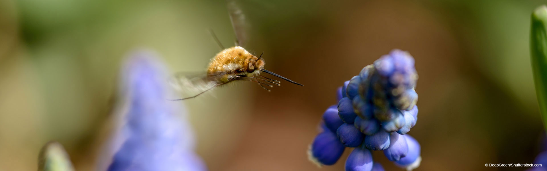 Large bee-fly flying towards a grape hyacinth flower