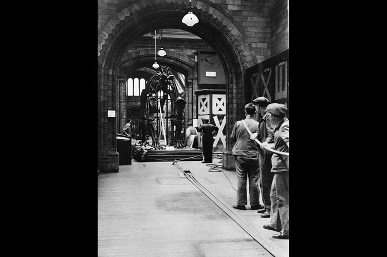 Black and white photo of people hauling Dippy's torso and legs through a Museum corridor in April 1940
