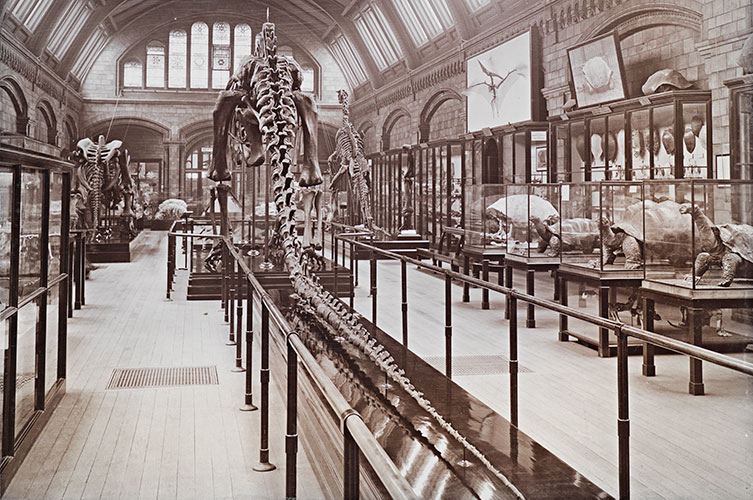 Black and white photo of a rear view of Dippy in the Reptile gallery in 1911, alongside tortoises in glass cases