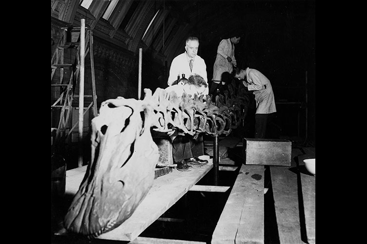 Black and white photo of staff remounting Dippy in the Fossil Reptile gallery