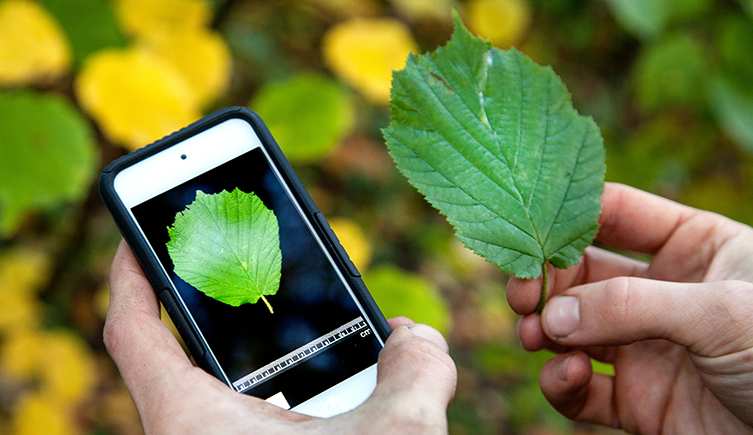 Using The Leafsnap Uk To Identify A Tree From Its Leaf
