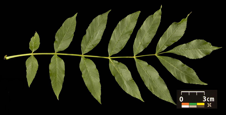 Photo of a compound leaf