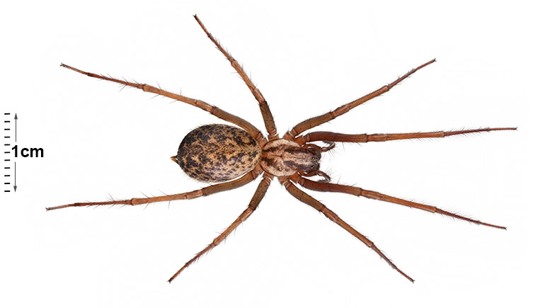 House spider | Natural History Museum