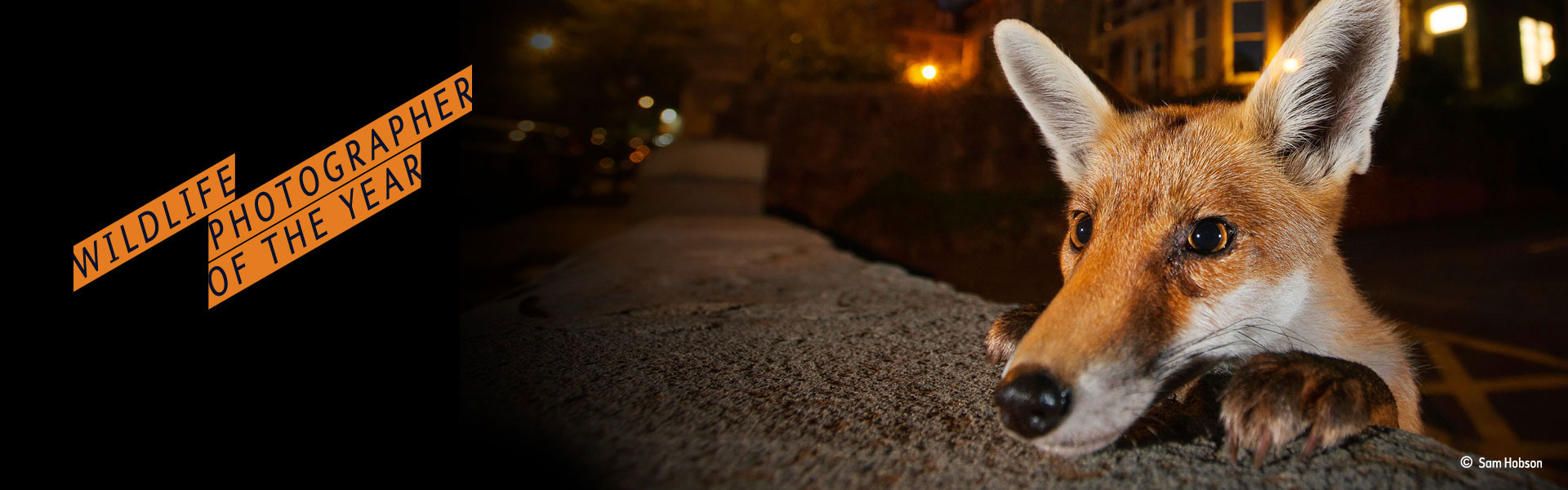 An urban red fox peers over a wall. Image by Sam Hobson.