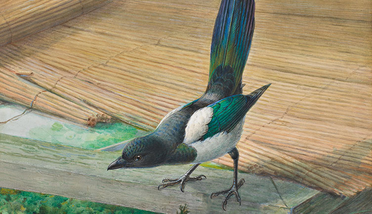 Common magpie watercolour by John Gerrard Keulemans