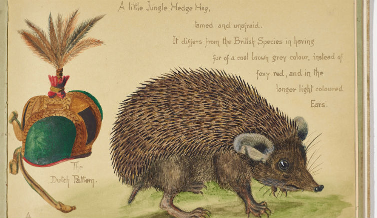 Indian long-eared hedgehog colour illustration by Olivia Tonge