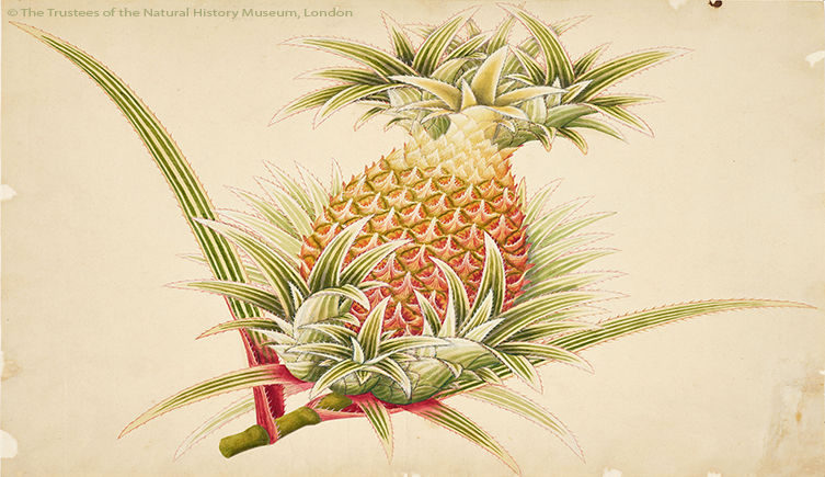 Illustration of a pineapple, Ananas comosus John Reeves (1774-1856)