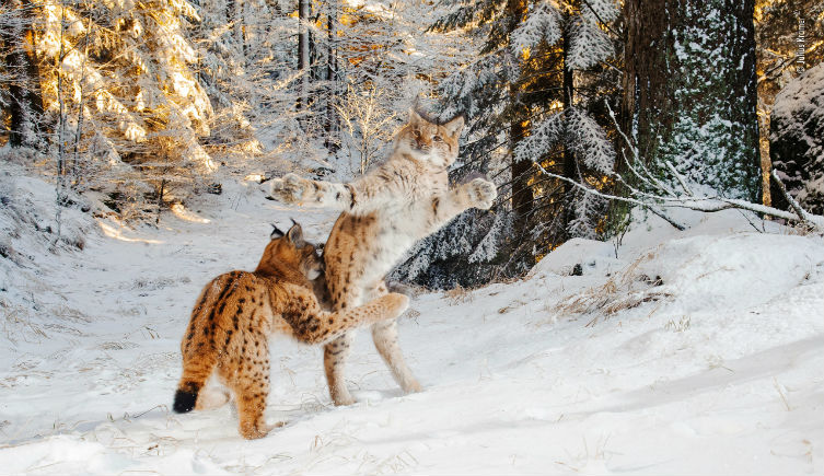 Two Eurasian lynx kittens frolicking in the snow