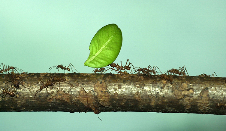 Live leaf-cutter ants in the Creepy Crawlies gallery