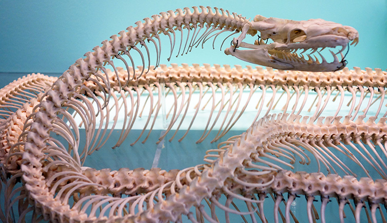 A python skeleton in the Fishes, Amphibians and Reptiles gallery