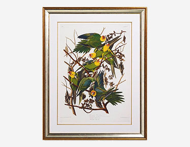 The Carolina parrot framed print