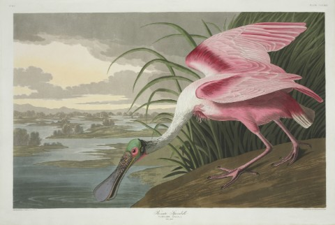 Colour print of a Roseate spoonbill from John James Audubon's book The Birds of America
