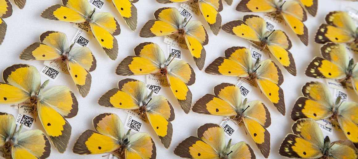 A tray of butterflies in the digitisation project