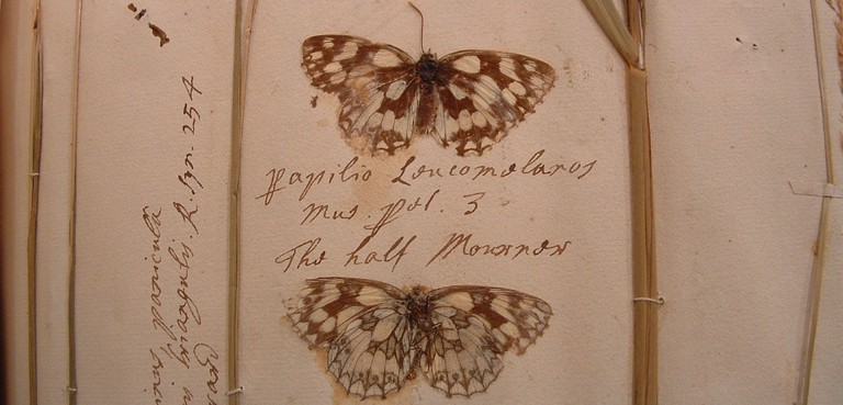 Pressed marbled white butterflies from the collections of Adam Buddle