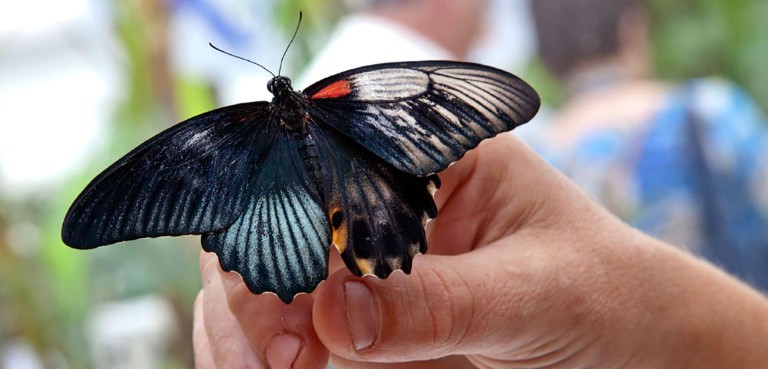 A gynandromorph in the butterfly house