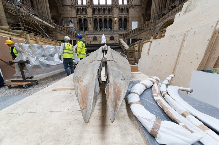 The whale skeleton being moved to the floor of Hintze Hall
