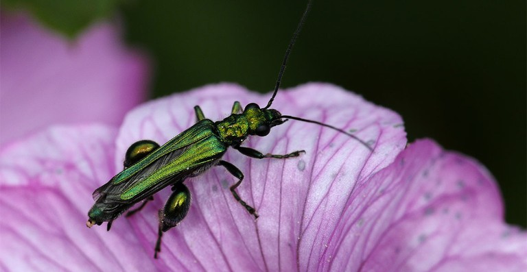 Thick-legged flower beetle on a flower