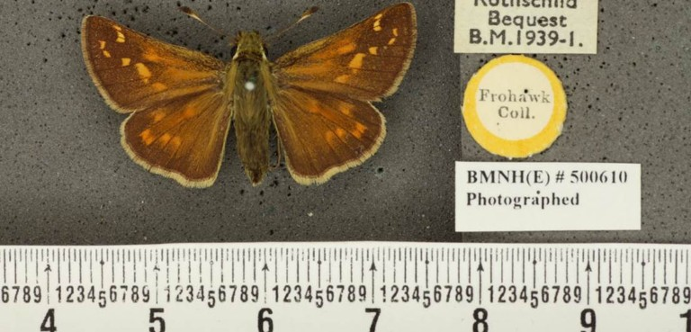 An image of a silver spotted skipper taken as part of the iCollections project