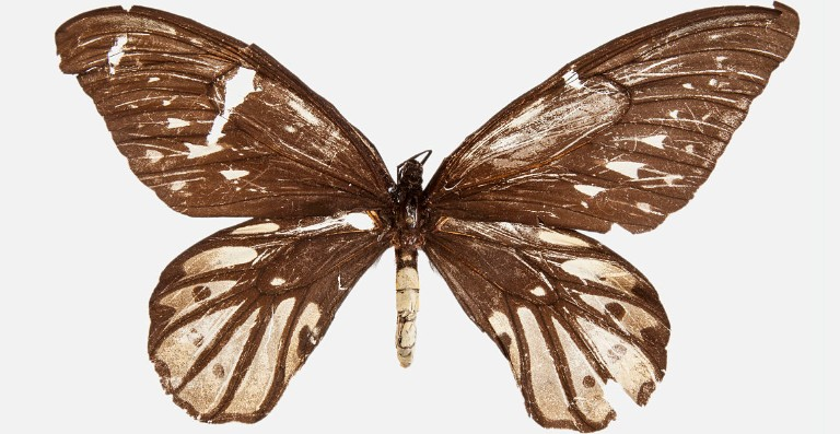 First known specimen of Queen Alexandra's birdwing, showing bullet holes