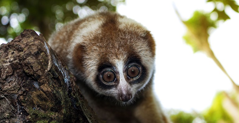 A slow loris in a tree