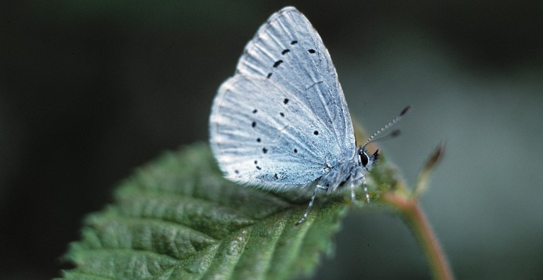 A holly blue butterfly in the Museum's Wildlife Garden