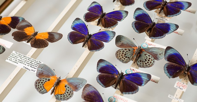 Colourful Asterope butterflies