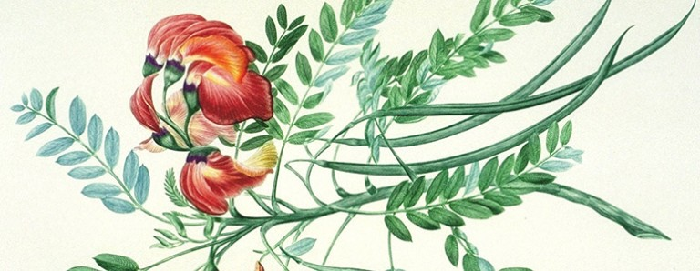 Botanical illustration by Sydney Parkinson