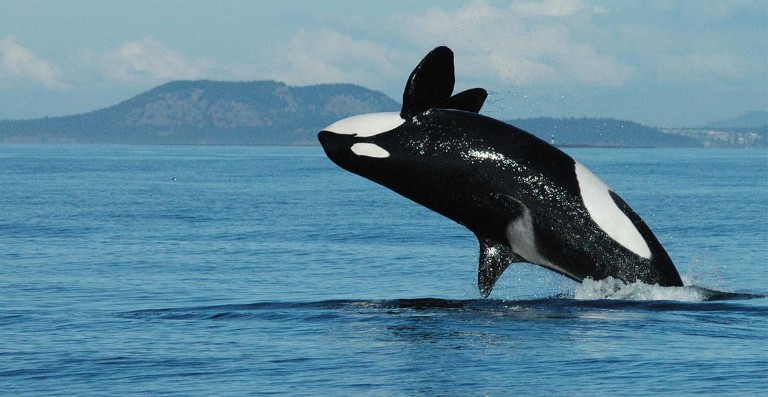 A killer whale breaching