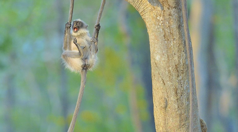 A gray langur monkey swinging from a tree in India's Bandipur National Park