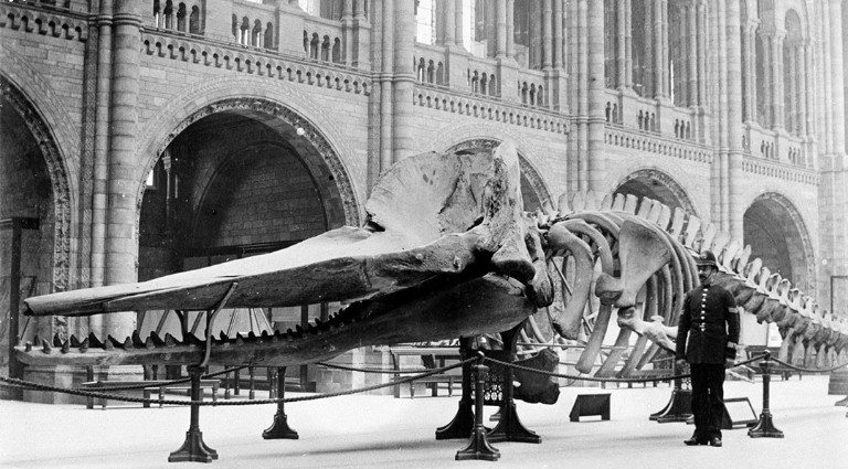 Sperm whale skeleton photographed in the Museum's Hintze Hall in 1901
