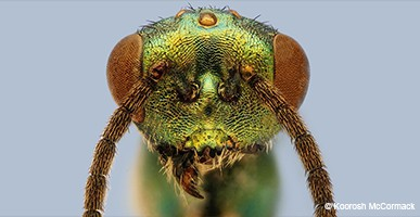 miniature-lives-magnified-parasitoid-wasp-hti-top-wide