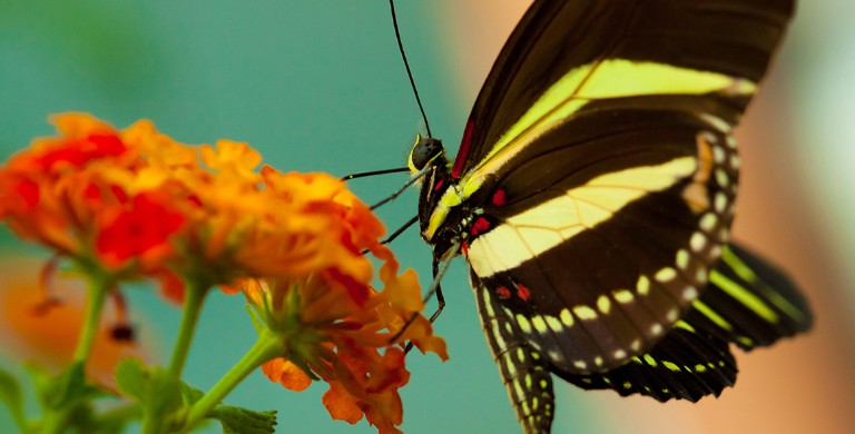 The zebra longwing (Heliconius charithonia)