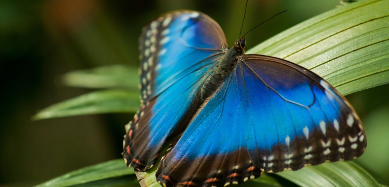 The blue morpho resting on a leaf