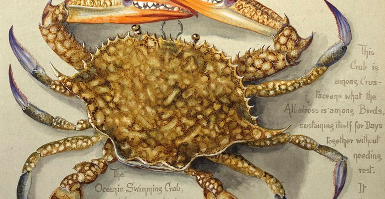 A watercolour showing a flower crab