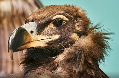 oiseau dodo ile maurice