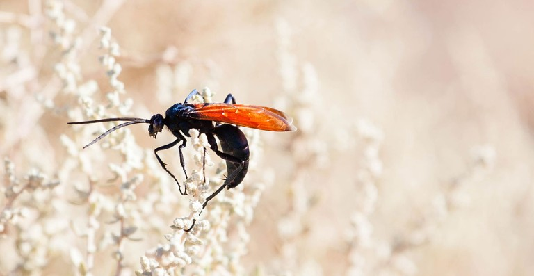Adult tarantula hawk on a plant